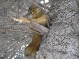 Fox Squirrel licking Ice Cream, Idaho State University, Pocatello, Idaho