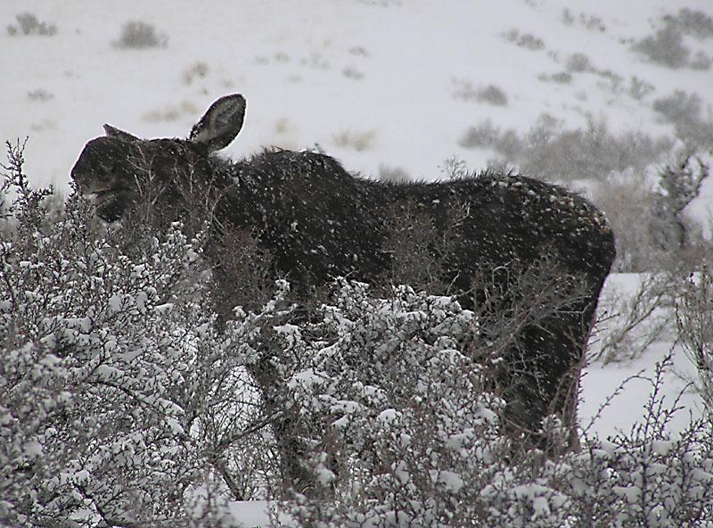 Moose Girl eating Sagebrush, Feb 4 2004, Pocatello, Idaho