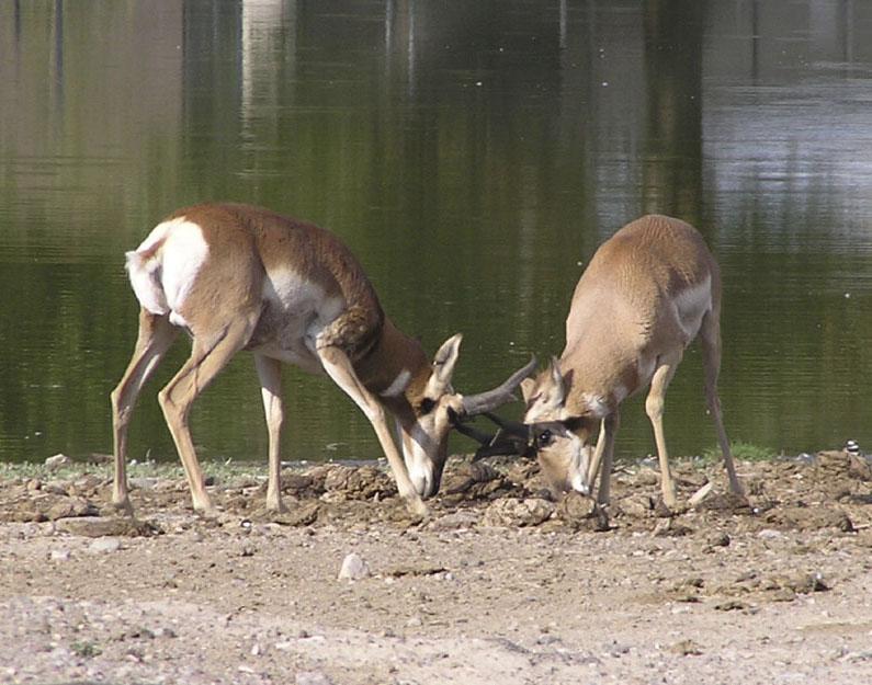 Fighting Male Pronghorn at Pocatello Zoo, Pocatello, Idaho