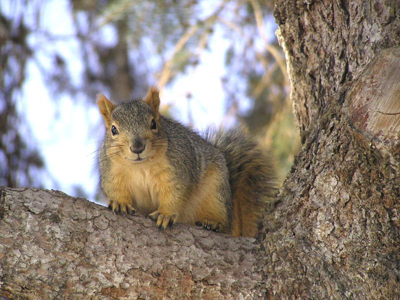 Fox Squirrel near Engineering Building, Idaho State University