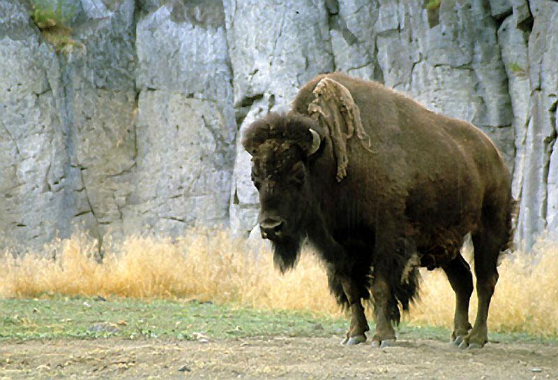 bison at Pocatello Zoo
