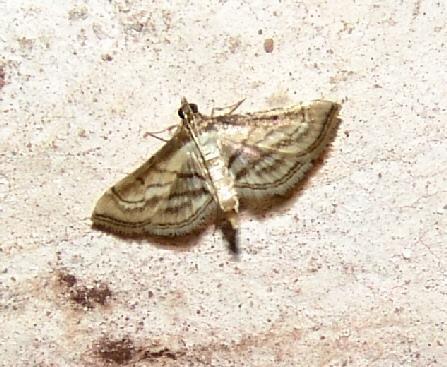 Marasmia Moth