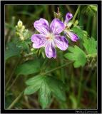 7-04sticky-geranium.jpg