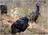 092101_RanchoSanAntonio_Turkeys_Crpd_WPB.jpg