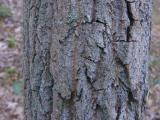 Oxydendrum arboreum (Sourwood)