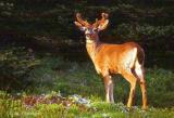 Olympic Deer