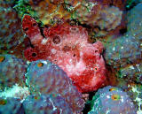 Orange Frogfish Changed Color