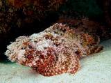 Scorpionfish 2