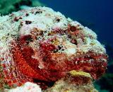Scorpionfish 3