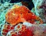 Frogfish at Bari Reef