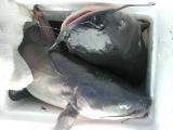 Two large catfish