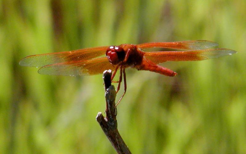Dragonfly biplane