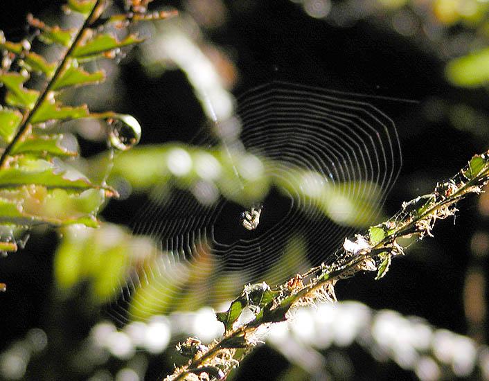 Sword fern spider waits