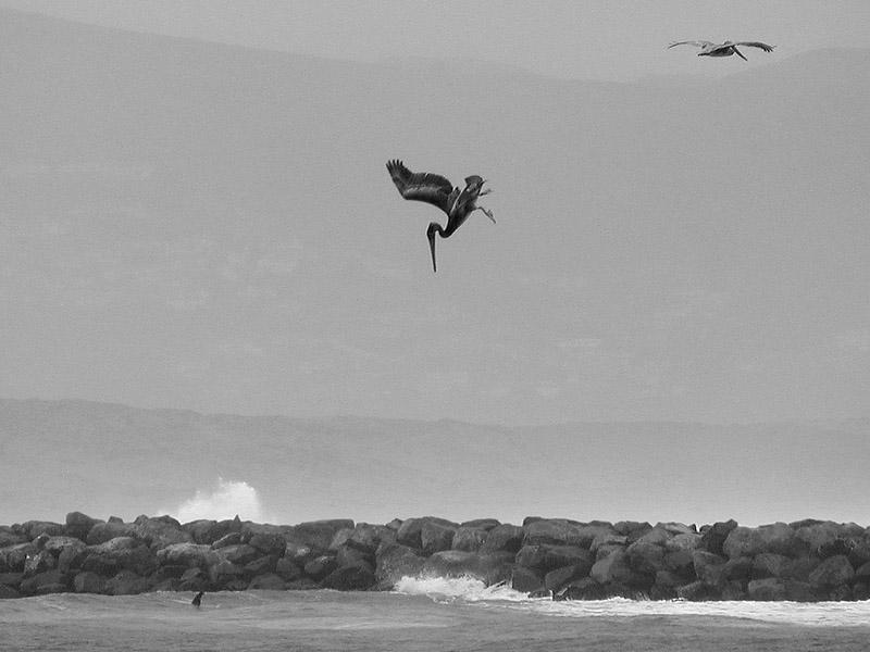 Pelican Spots Lunch