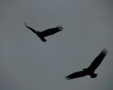 Courting in Flight.jpg