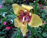 Yellow Tiger Flower
