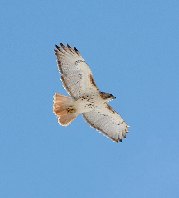 Adult Red-tailed Soars