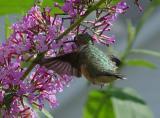 HummingbirdDSC08355.jpg