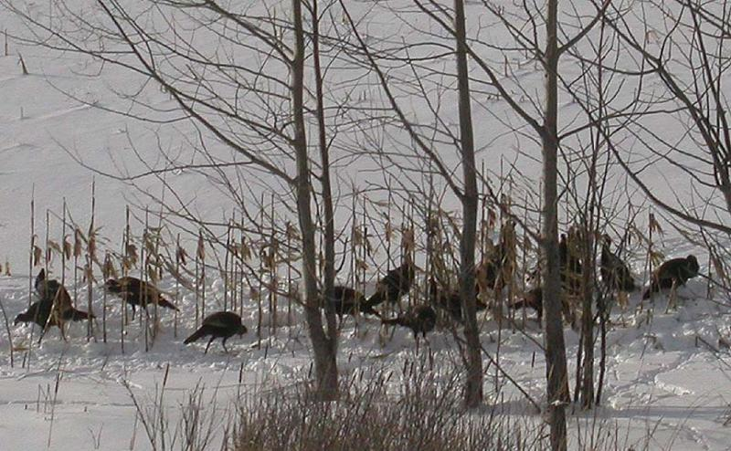 Wild Turkeys near Phillipsville