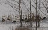 Wild Turkeys near Phillipsville
