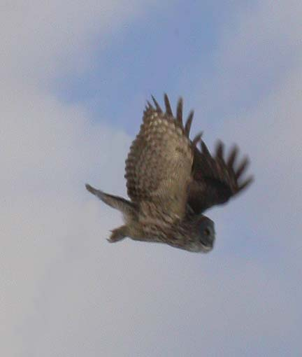 Great Gray Owl  -- flying