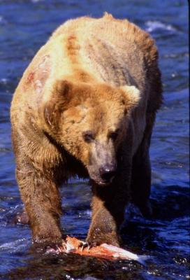 Brown Bear & Salmon