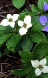 Bunchberry, Turnagain Arm