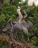 Great Blue Herons dancing