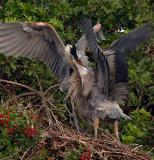 Great Blue Herons locking bills