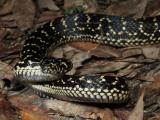 Broad-headed snake, Hoplocephalus bungaroides