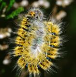 rups kleine hageheld (lasiocampa quercus)