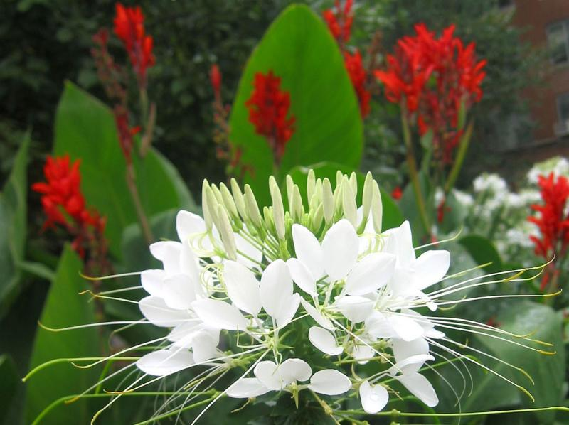 White Cleome & Red Indian Shot