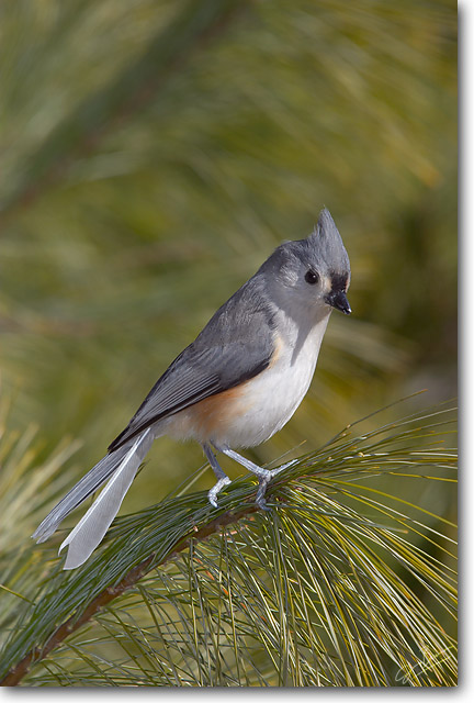 <!-- CRW_6881.jpg -->Tufted Titmouse