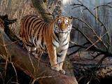 Tiger - POTD at AzColt's