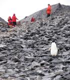 Captain Carl Anton Larsen and his crew survived the winter of 1903-04 here, thanks to 1100 ancestors of this adelie penguin.