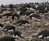 Unlike gentoos, adelies nest on the beach. There are some 60,000 pairs of adelies on Paulet.