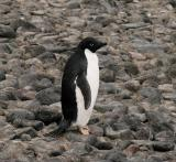 In 1837, the French explorer Dumont d'Urville named this penguin for his wife, Adele.
