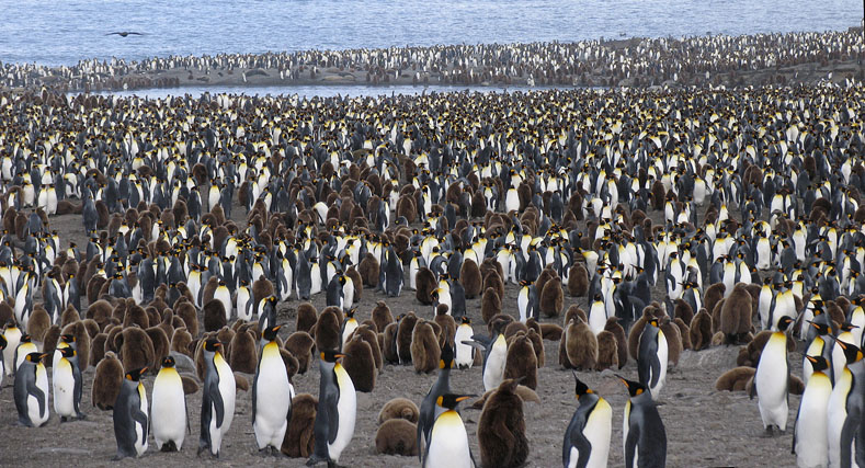 When skuas (upper left) begin to circle at tea time, a mournful penguin cry of alarm sweeps across the valley.