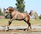 EL CONTE 2001 Grey Stallion