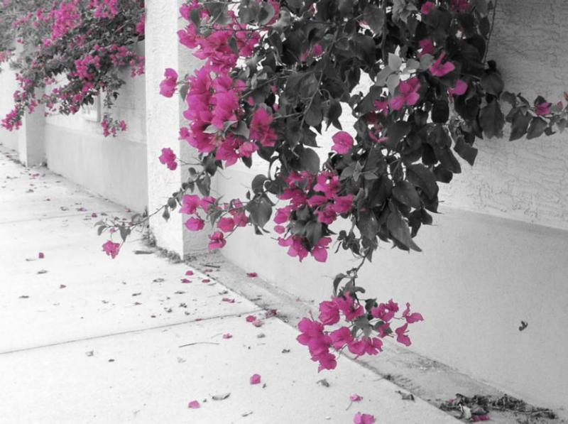 Bougainvillea - Color Edited