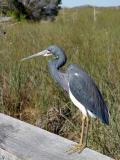 tricolor heron. on the rail
