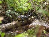 alligator. big cypress preserve