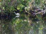 great egret.  big cypress preserve
