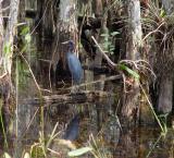 little blue heron. big cypress preserve