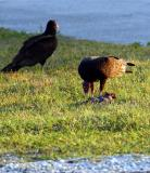 turkey vulture. with dinner