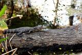 juvenile alligator. on a log