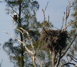eagle. pine island