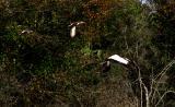woodstork and ibis. flying away