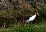 woodstork. with juvenile ibis