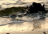 sanderling. in the surf